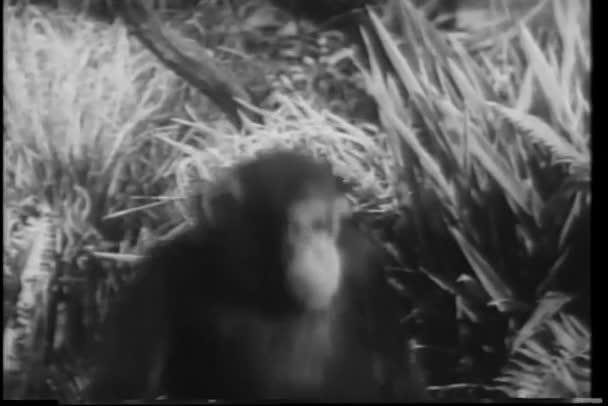šimpanz, snaží se trochu prospat