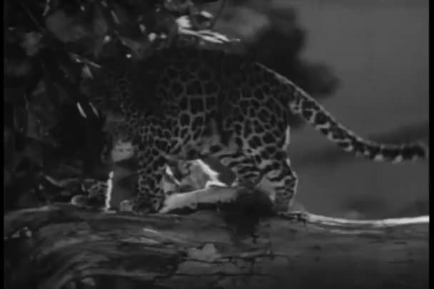 Close-up leopard walking on branch