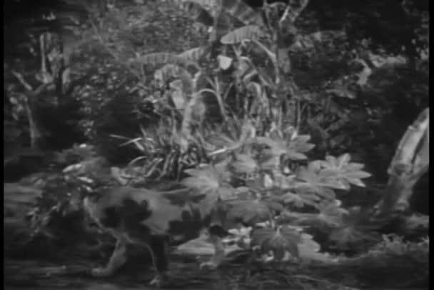Long shot lion resting in jungle