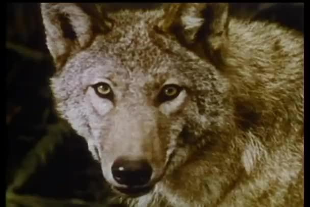 Közeli kép a farkasok