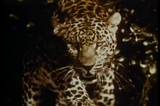 Close-up of growling leopard