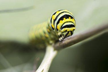 A Monarch butterfly (Danaus plexippus) caterpillar f