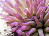 spotted cleaner shrimp (Periclimenes yucatanicus)