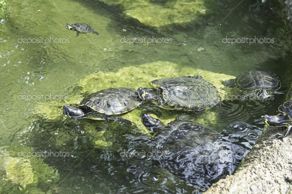 Gruppo delle tartarughe foto stock celiafoto 30046255 for Laghetto tartarughe prezzo