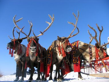 National holiday. Reindeers in harness.
