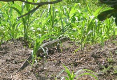 Huge green lizard in the grass. Of Tanzania.