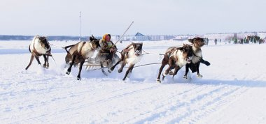 NADYM, RUSSIA - MARCH 18, 2006: Racing on deer during holiday of