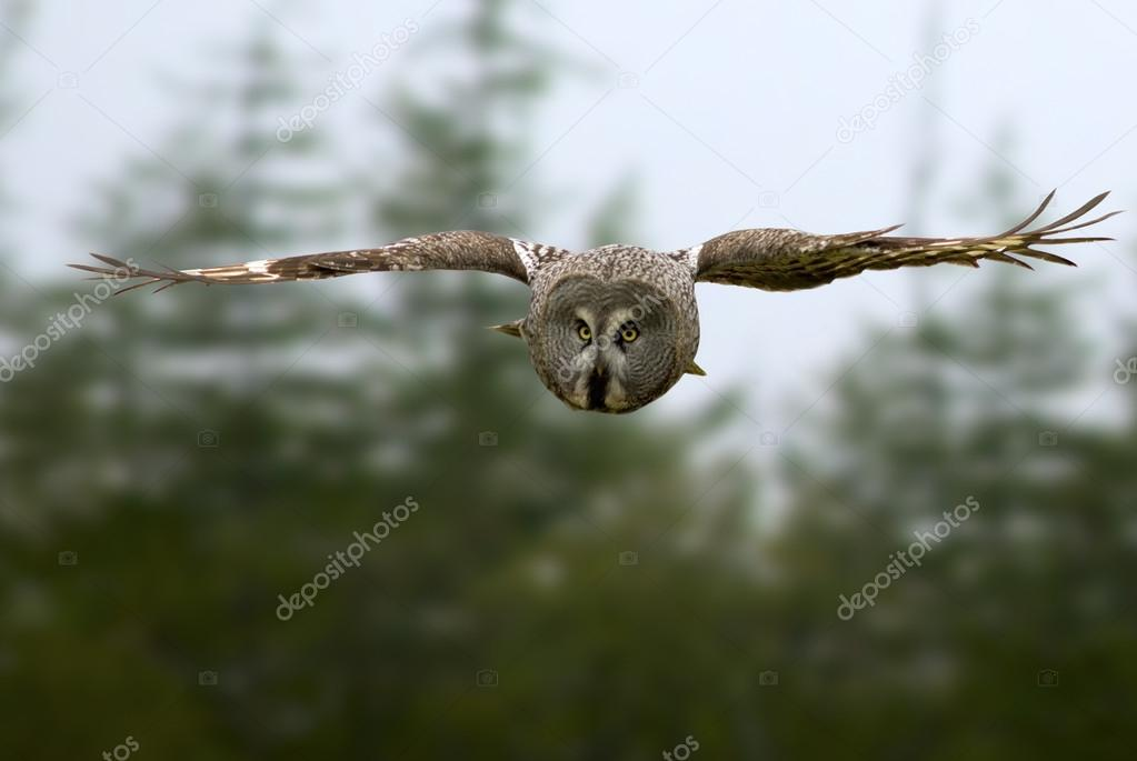 Great Gray Owl dives for prey
