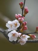 Fotografia Primavera fiori di ciliegio