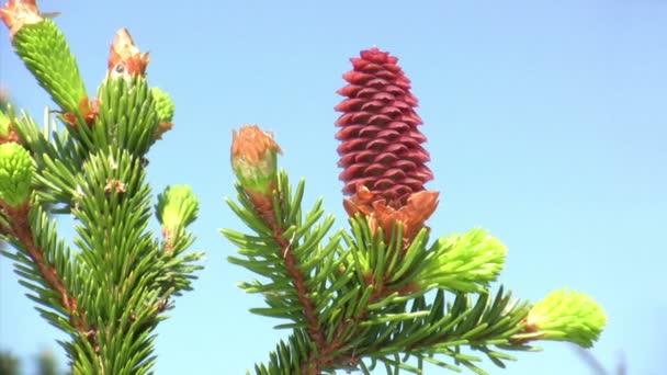 Piros pinecone