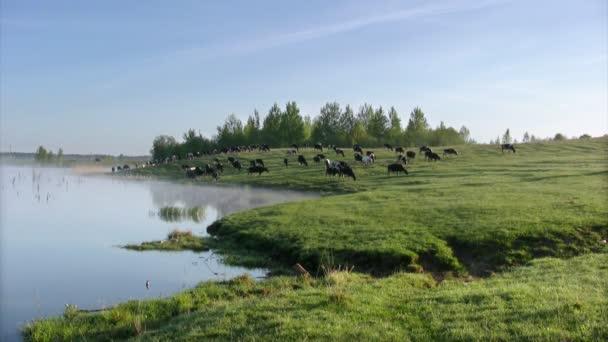 Cow summer landscape