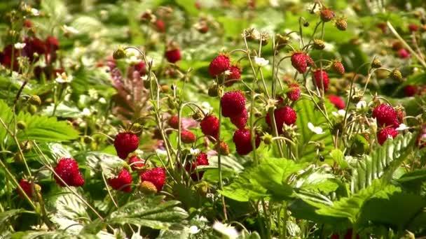 strawberrys čas