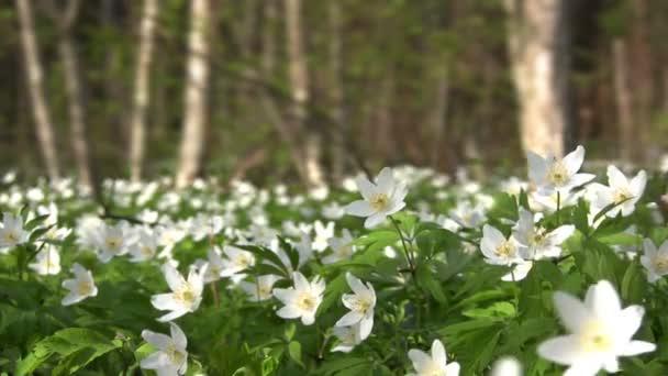 Blossom of snowdrops