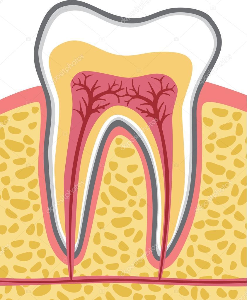 Tooth anatomy — Stock Vector © Tribaliumivanka #26764591