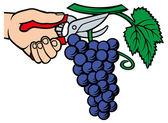 Fotografia uomo mani raccolta uva