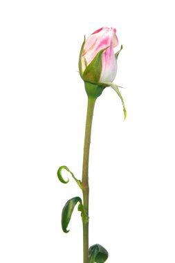 pink rose bud over white