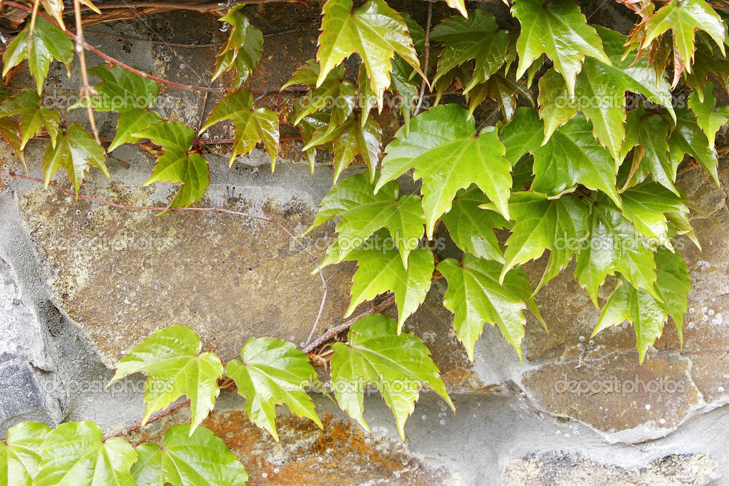 ivy on stone wall