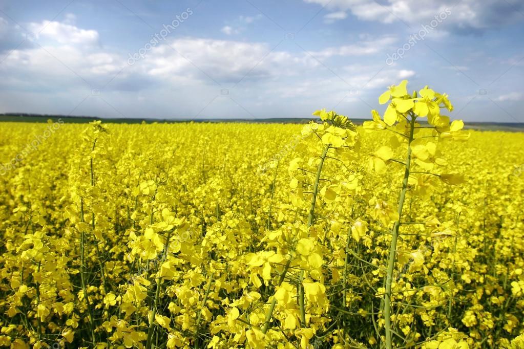 Жёлтые цветы на поле