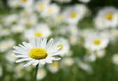 sedmikráska květ na poli pozadí