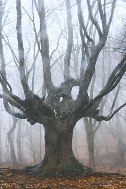 big dead tree in foggy forest