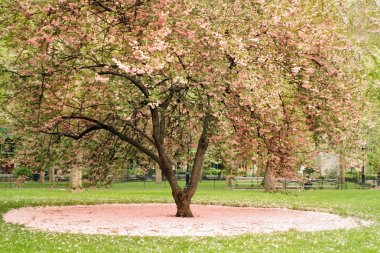 Blossoming tree in central park, NYC, USA