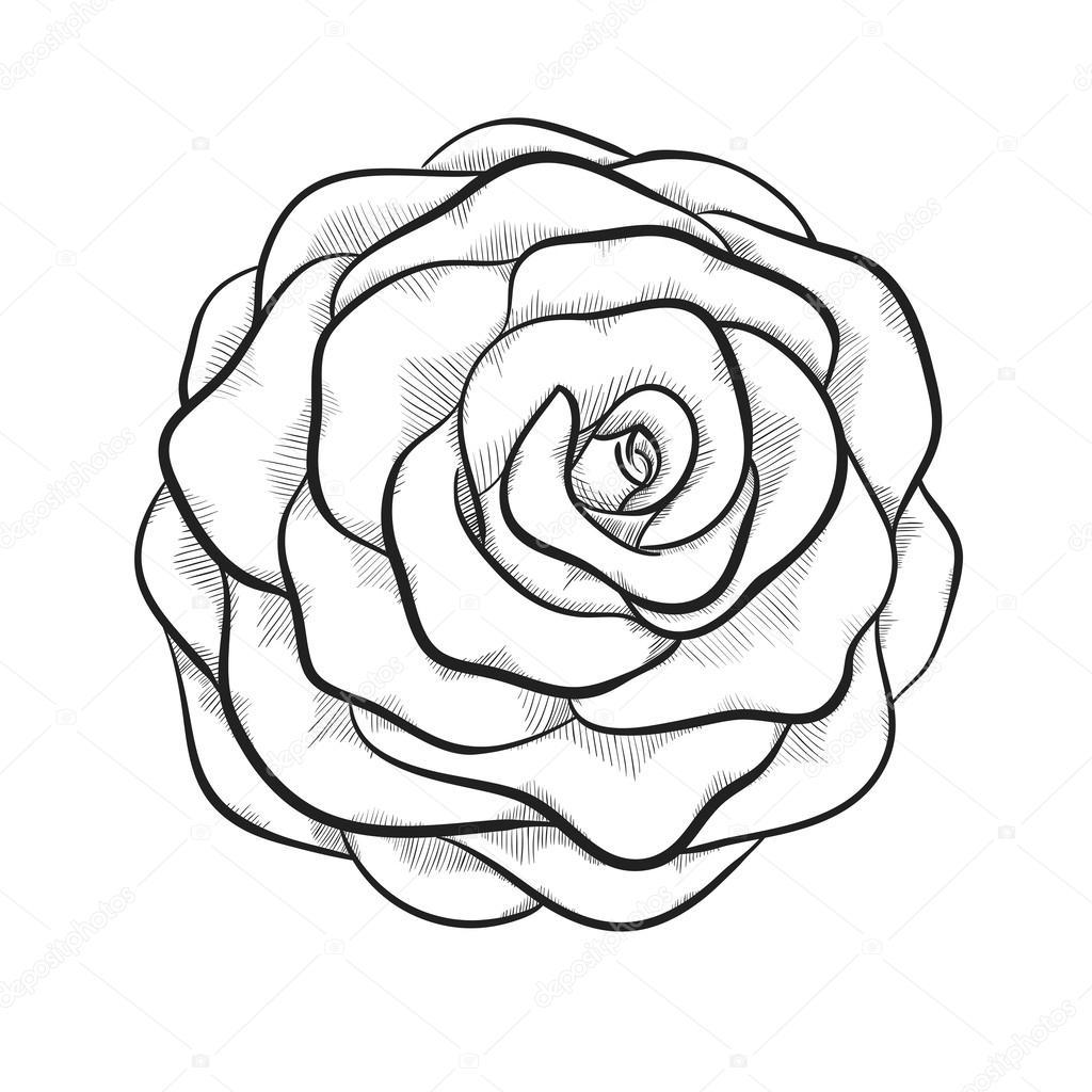 beautiful monochrome black and white rose isolated on white background