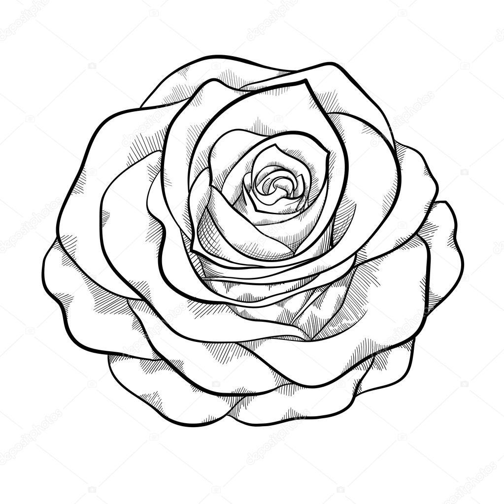 Hermosa Rosa Blanco Y Negro Monocromo Aislado Sobre Fondo Blanco