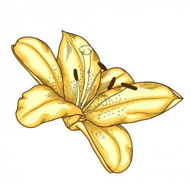 beautiful lily in the style of engraving and watercolors