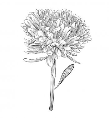 monochrome, black and white aster flower isolated.