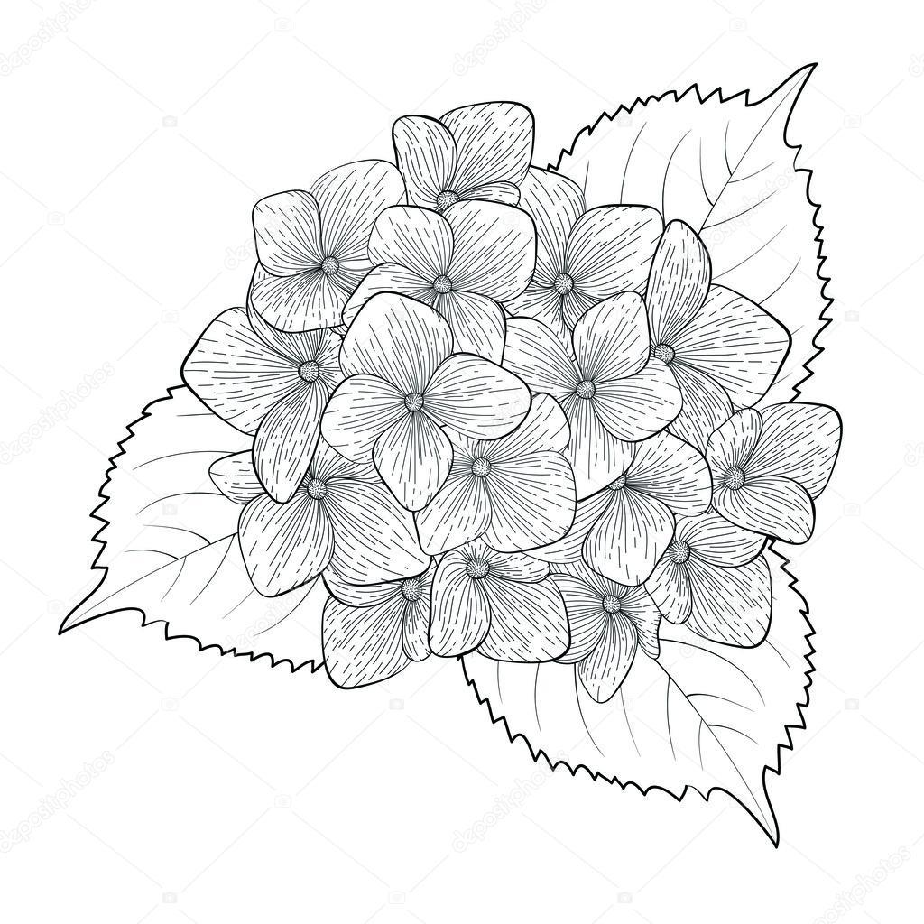 monochrome, black and white flower hydrangea isolated