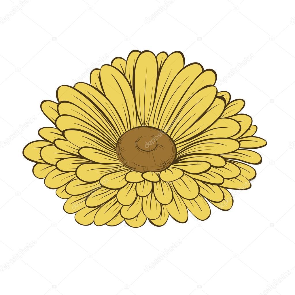 beautiful daisy flower isolated on white background.