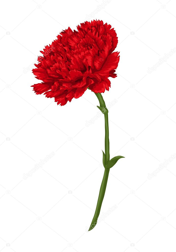 Beautiful red carnation isolated on white background.