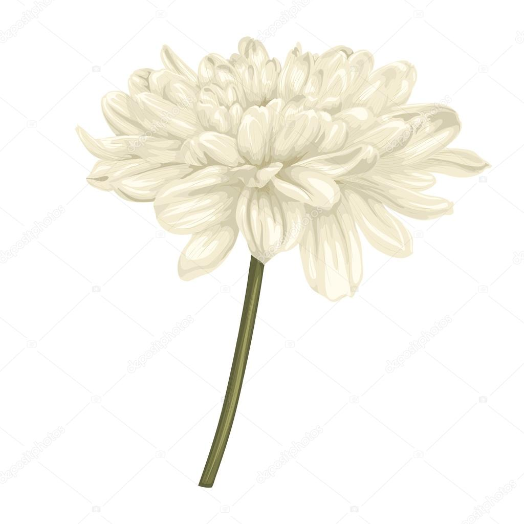 beautiful beige dahlia with the effect of a watercolor drawing isolated on white background.