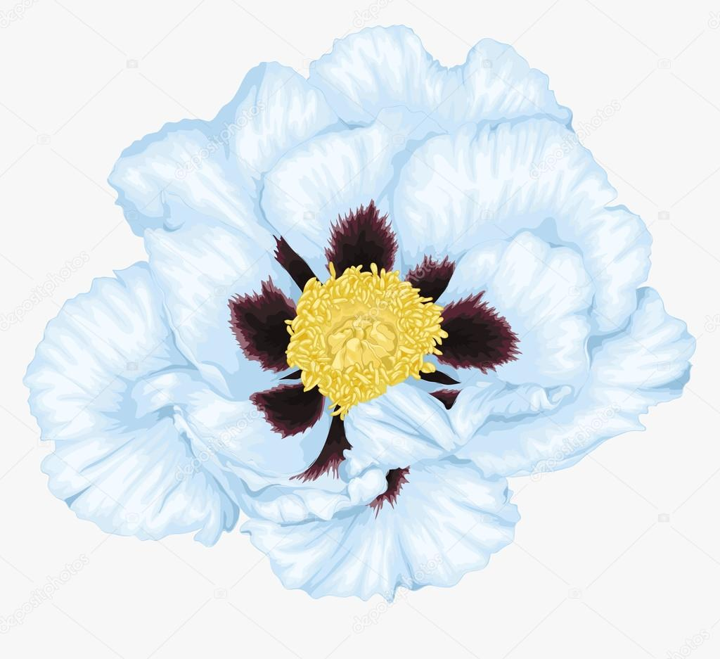 beautiful Plant Paeonia arborea (Tree peony) white flower isolated on white.