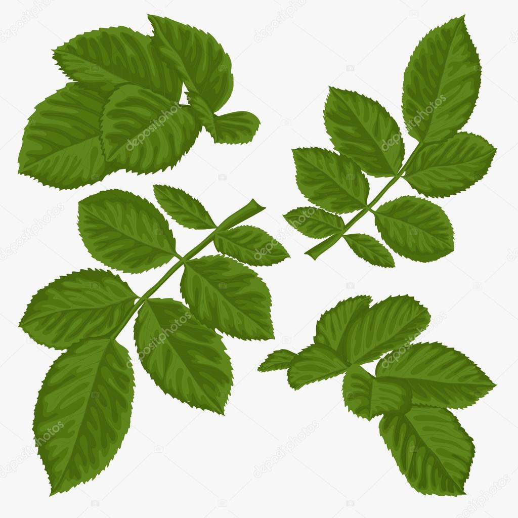 set of beautiful green leaves isolated on white.