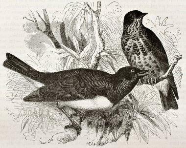 Tanimbar starling