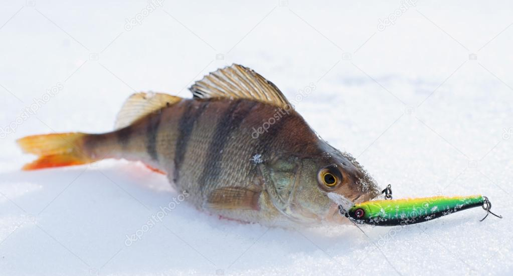 Perch with spinning lure in mouth — Stock Photo © Serreitor