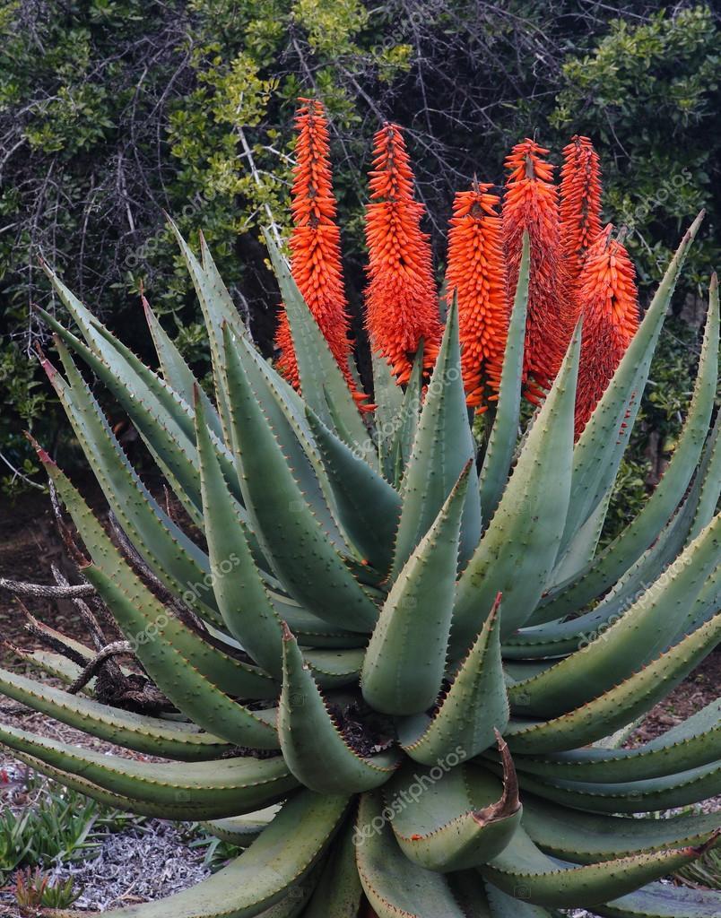 Fleurs succotrina orange aloe sur aloe vera - Fleur d aloe vera ...