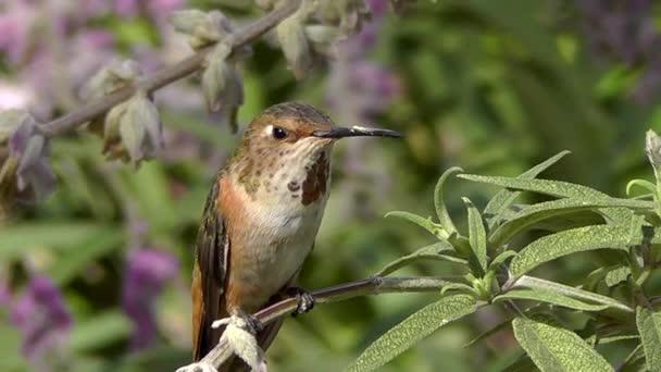 kolibříkovi