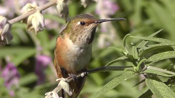 Close-up hd video z Kalifornie humming bird