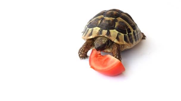 Tortoise eating tomatoes