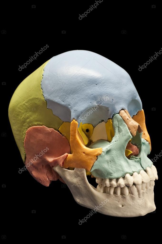 Human skull, model