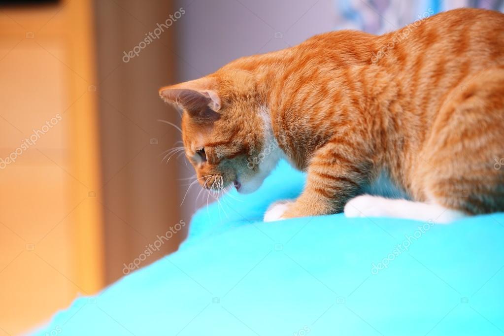 Tiere Zu Hause Rote Niedliche Kleine Katze Pet Kitty Auf Bett