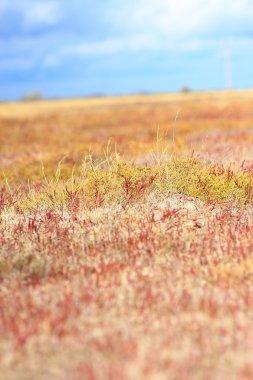 Summer background with Salicornia