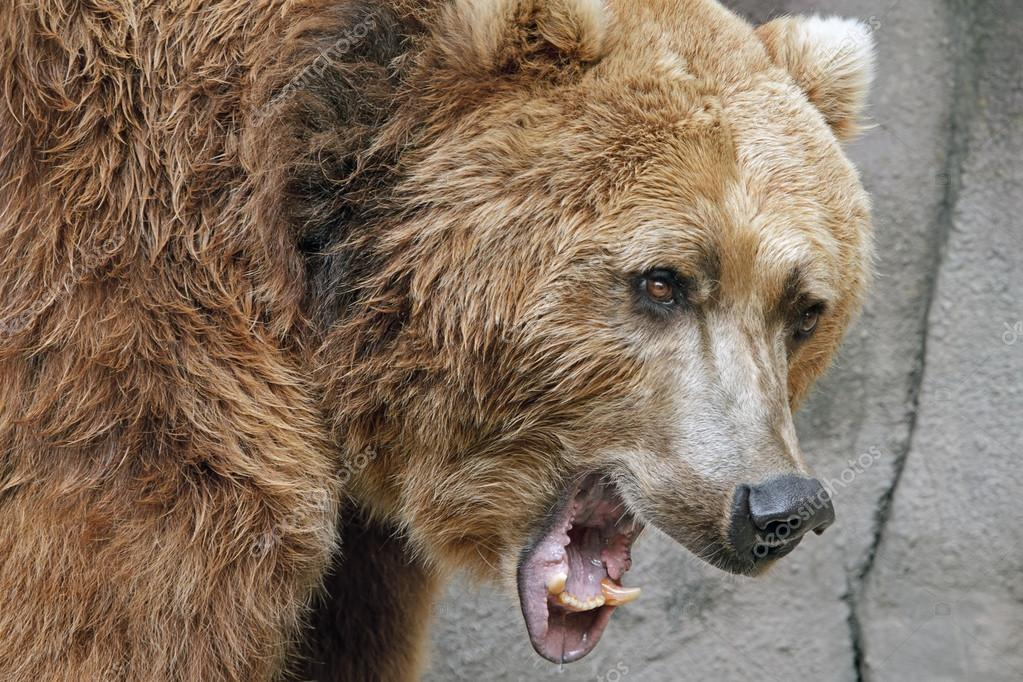 Growling, Grizzly Bear