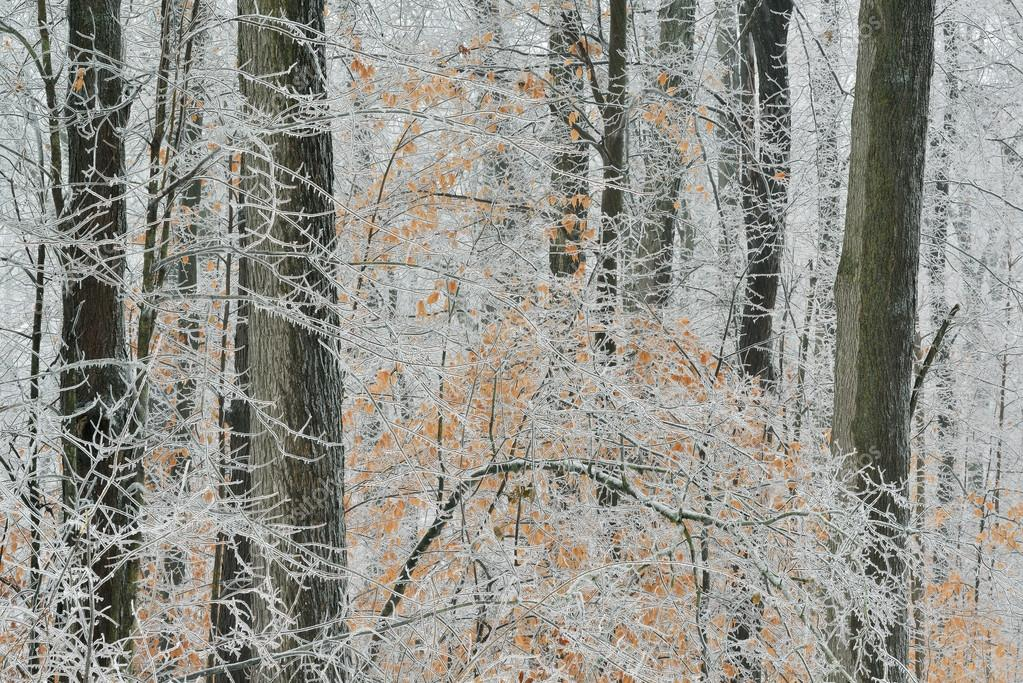 Iced Winter Forest