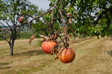 Rotting apples on a branch.