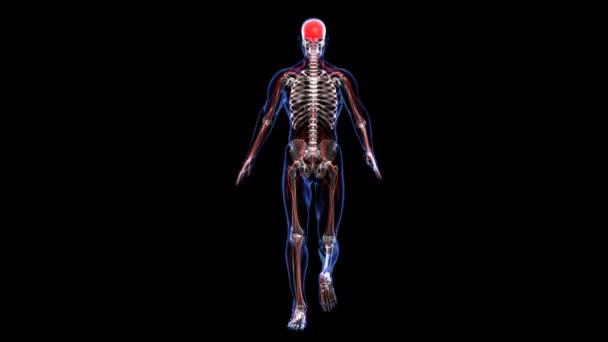 anatomie: kůže, kostra a nervózní