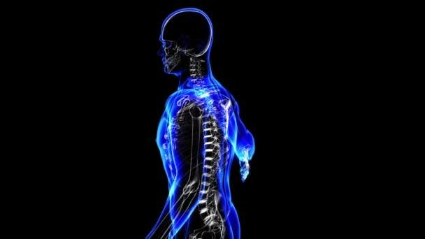 menschliches Skelett. Schleife