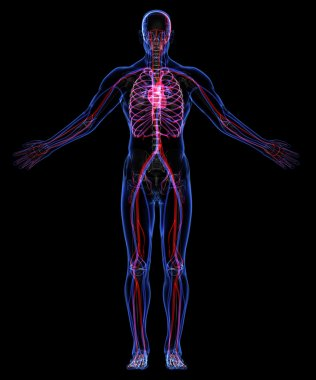Human skeleton and Circulatory System
